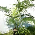 Kentia palm, Pleomele and Dracaena.