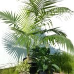 Kentia Palm, Lilly and Pleomele.