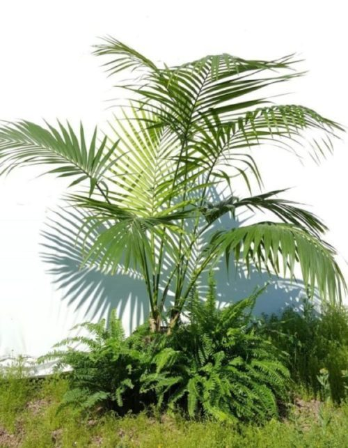 Kentia Palm and Fern group.