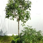 Ficus, Arboricola and Ivy group.
