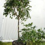 Ficus and Arboricola.