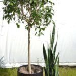 Ficus and sansevieria.