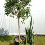 Ficus, sansevieria and Pleomele group.