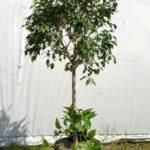 Ficus and Pothos.