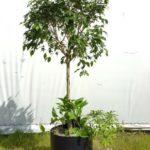 Ficus Arboricola and pothos Group.