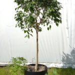 Ficus and Arboricola and pothos group