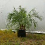 Robelenii Palm