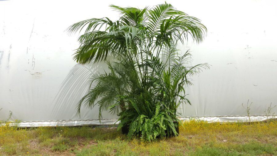 Majesty, Eureka, Robelenii palms and Fern.
