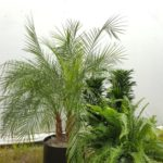 Robelenii palm, Fern