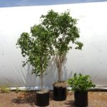 Three Tier Ficus Group
