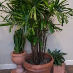 Lady palm, Sansevieria and Chinese Evergreen.